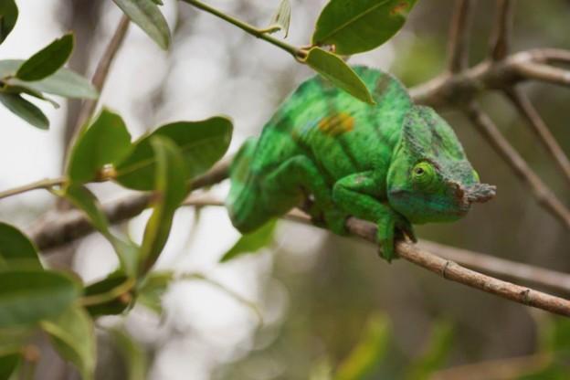 Chameleon, Credit B Rivard