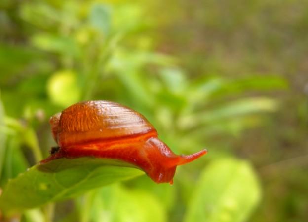 St Helena Blushing Snail Succinea sanctaehelenae Credit RSKey