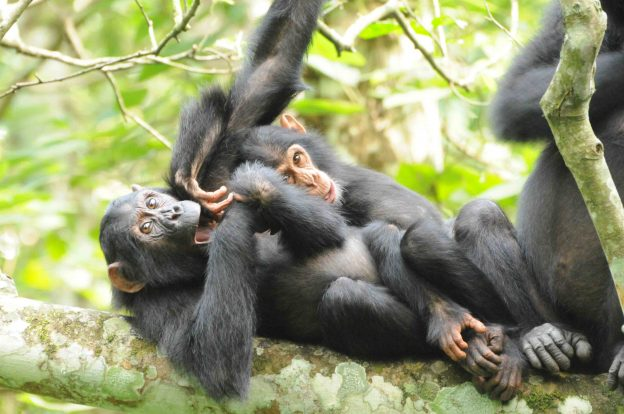 Juvenile and infant chimp plating, Credit A Plumptre