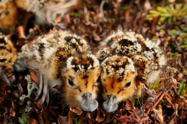 Spoon-billed sandpiper chicks, Credit Pavel Tomkovitch