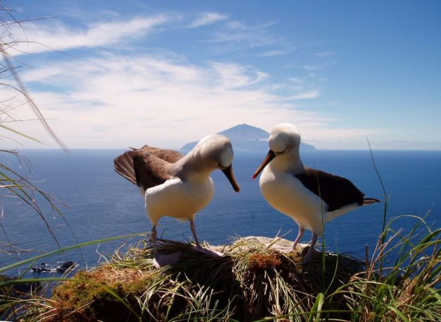 Tristan da Cunha-12-010-albatross on Nightingale Tristan in background-Credit Paul Tyler and Alison Rothwell)