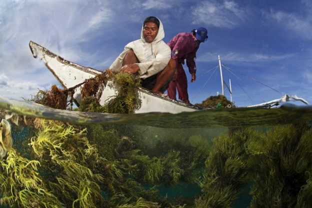 Recovering seaweed, seaweed farm, near Taglibas, Danajon Bank, Central Visayas, Philippines, April