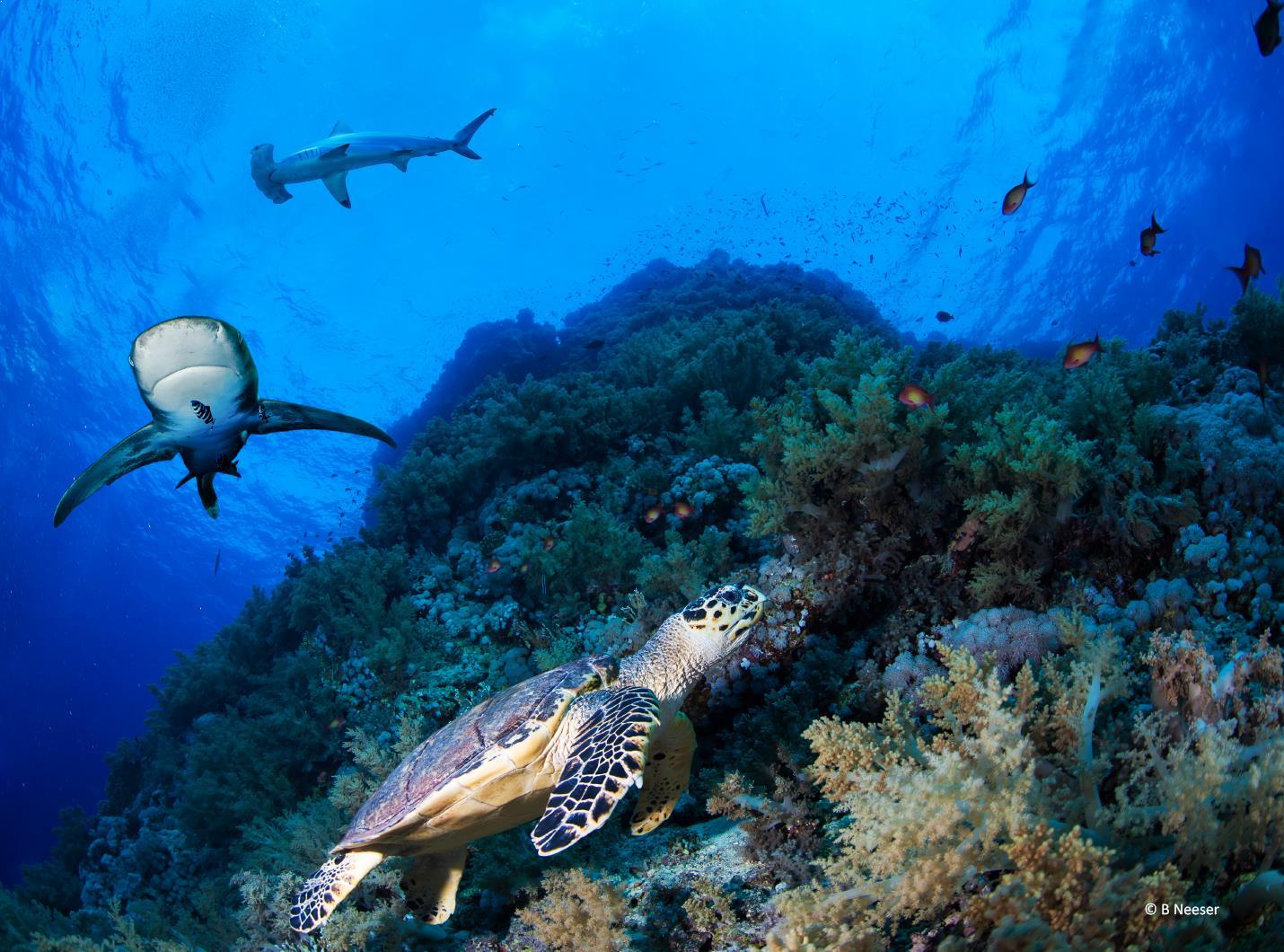 Shark_Turtle_Neeser_small