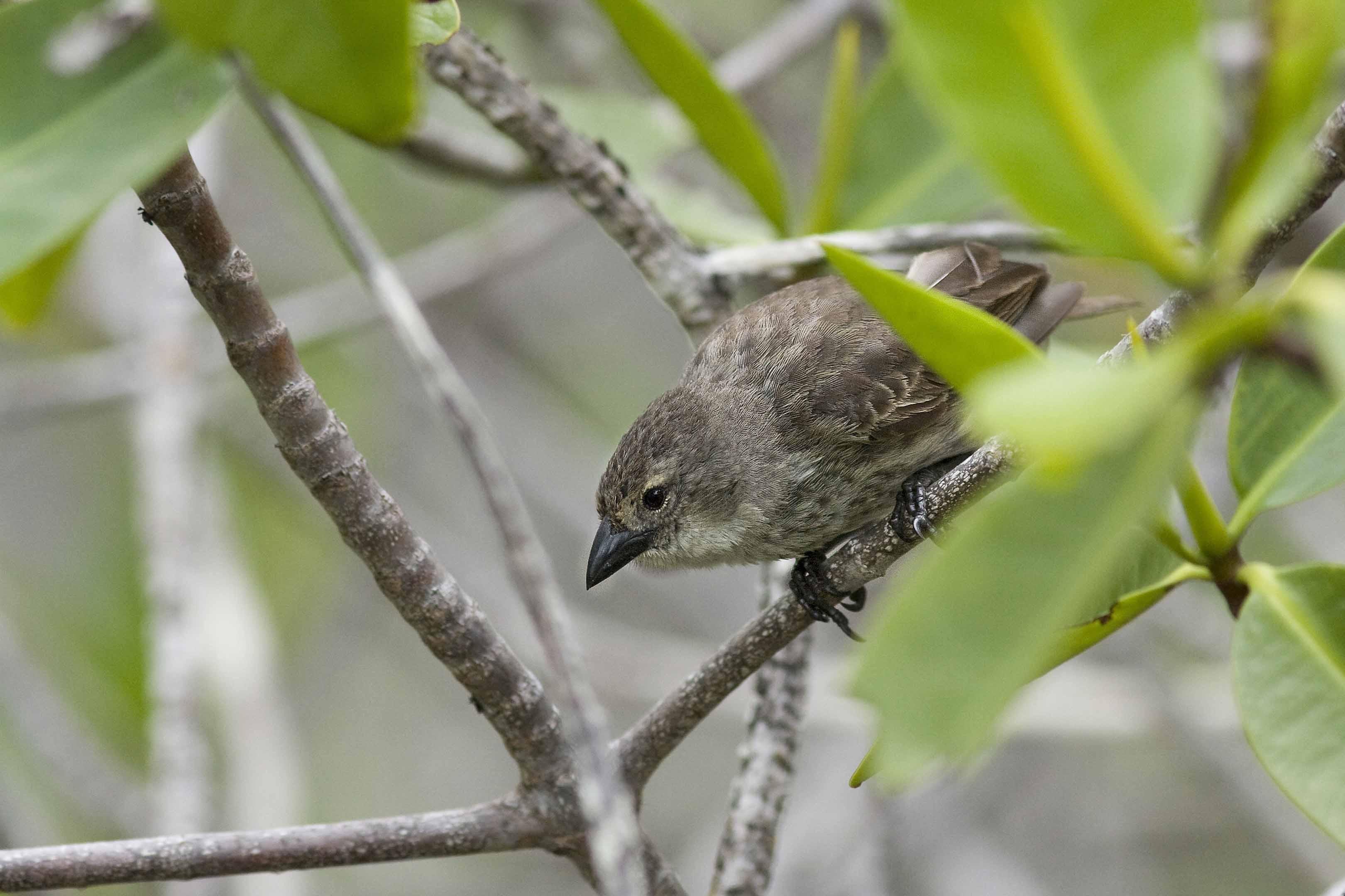 15-005 Mangrove Finch Cactospiza heliobates Galapagos 2008 Photo by Michael Dvorak (37)