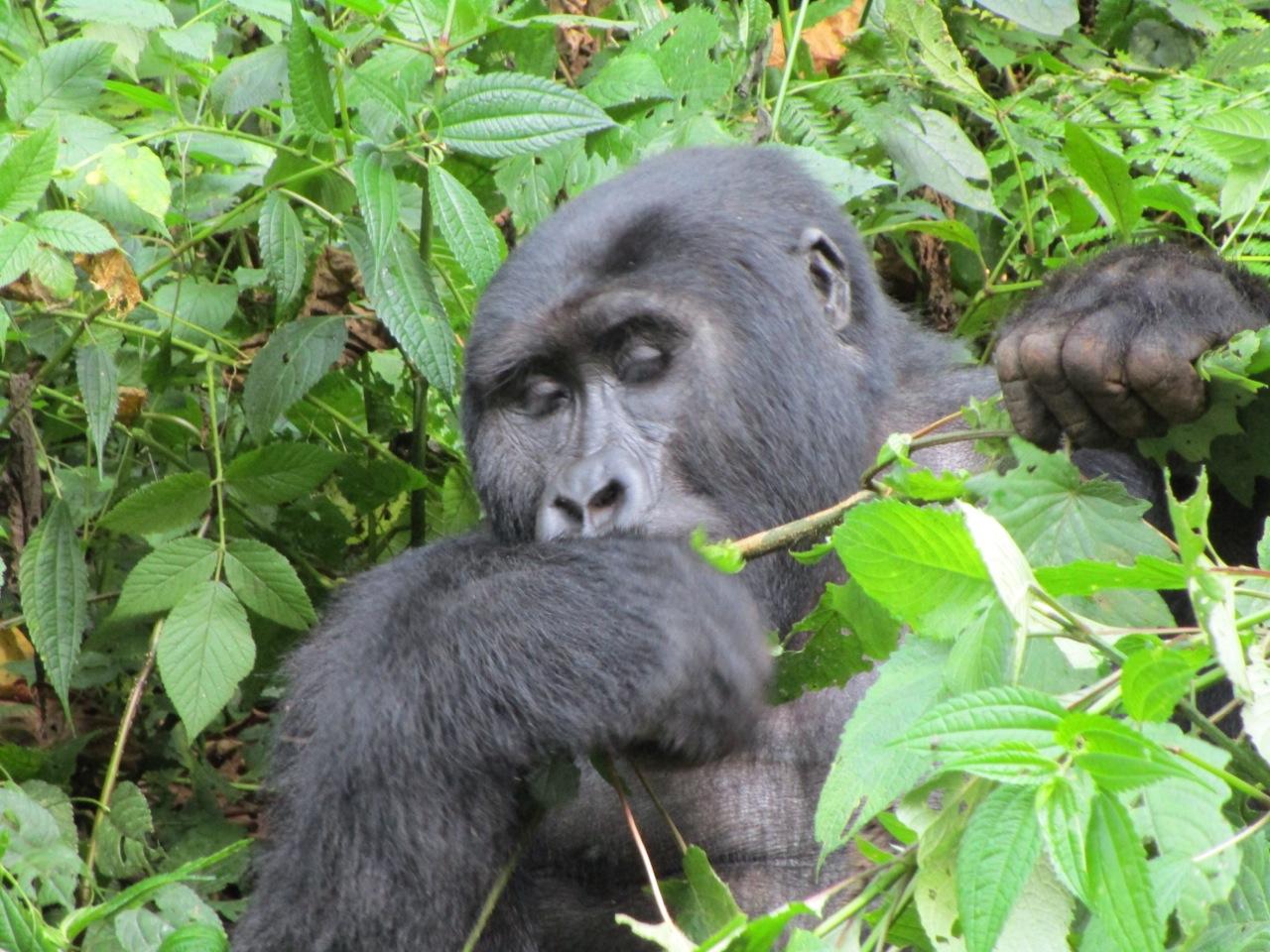Uganda gorilla Credit Dilys Roe
