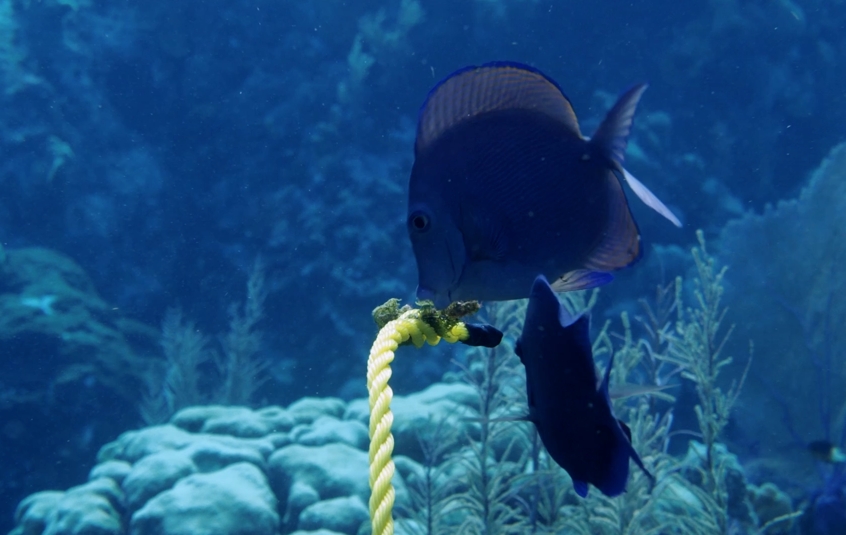 Cayman Islands DPLUS061 Tangs eating algae from the trial rope, Credit - Claire Dell