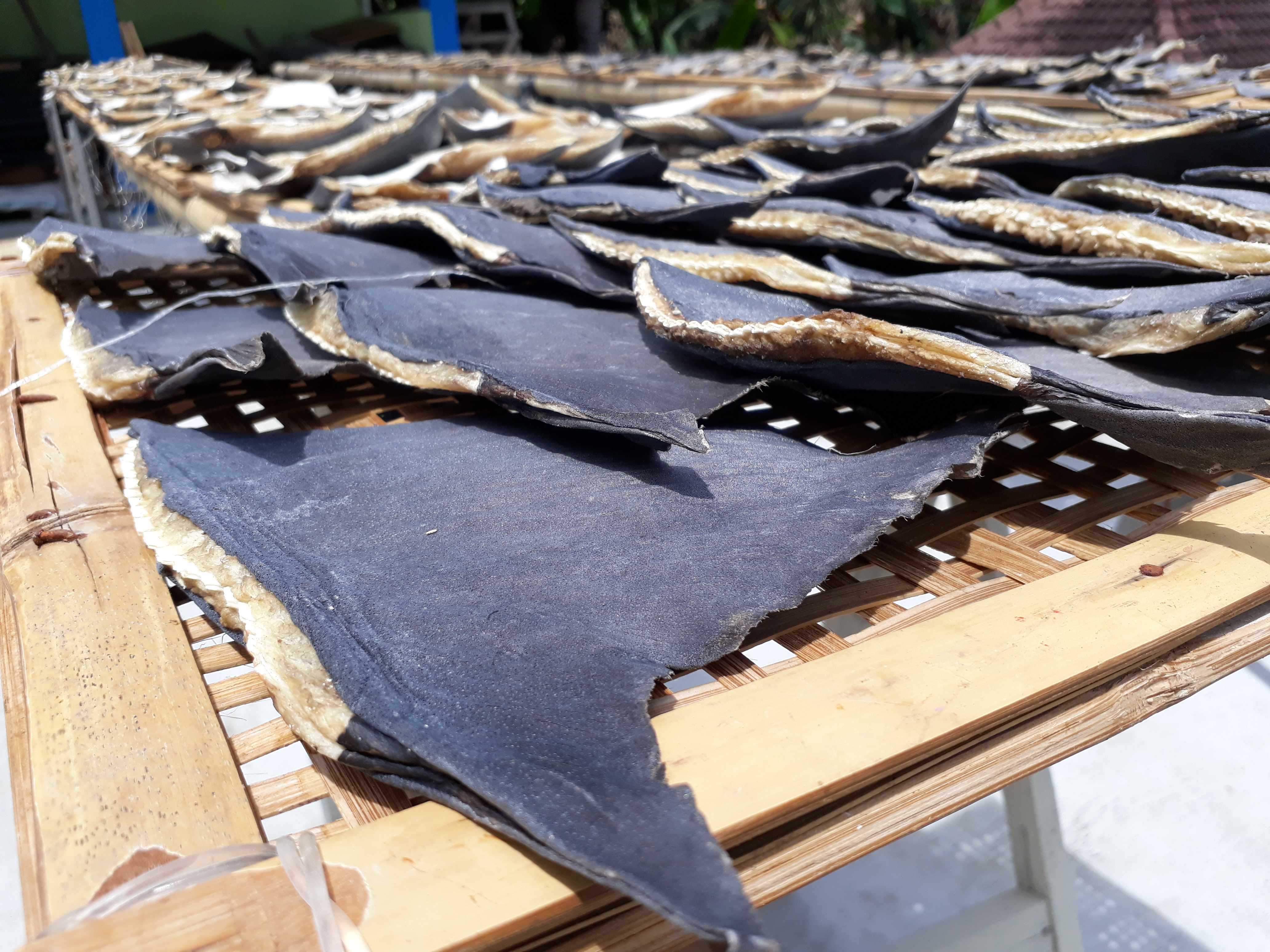 Indonesia 22-008 Dried fin on Muncar, Java, Credit - Benaya Simeon (WCS-IP2)