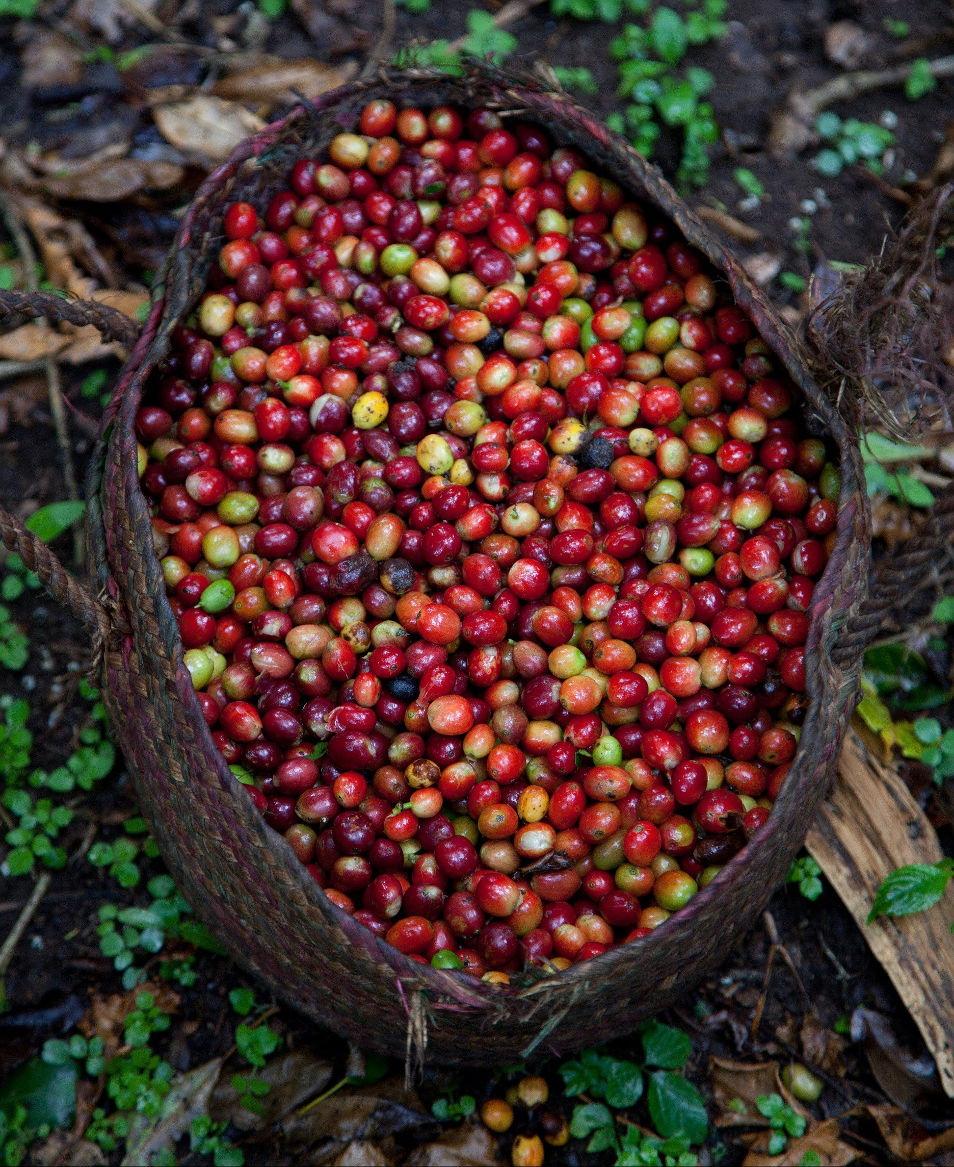 Ethiopia 19-025 Basket of ripe coffee cherries picked off mountain forest plots cleared for coffee cultivation, Credit - Sheko Woreda, SNNPR