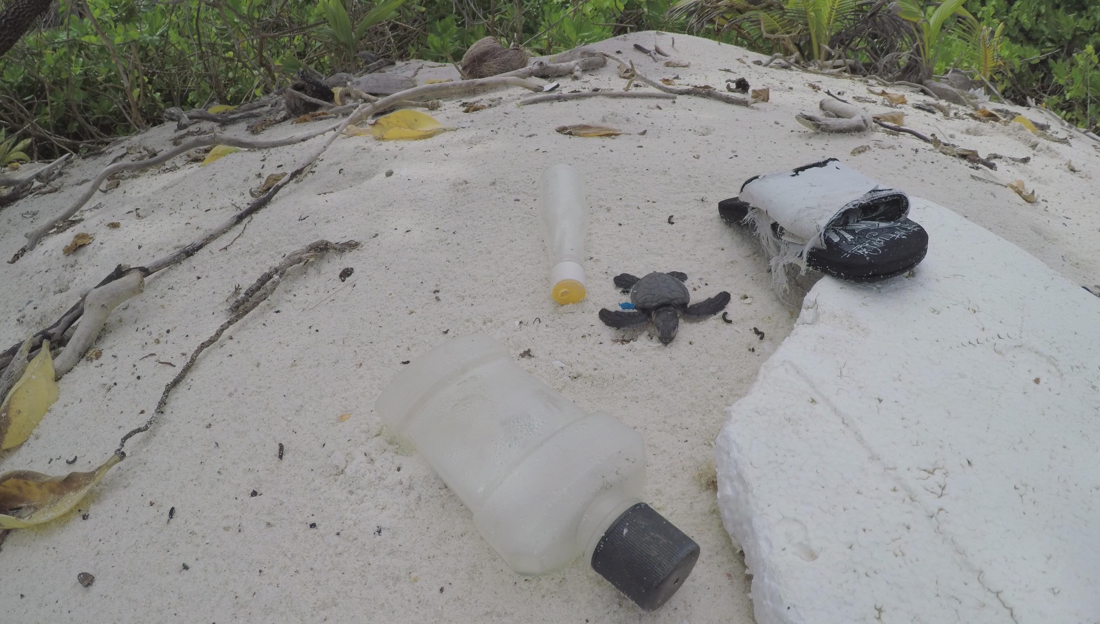 BIOT DPLUS090 Green turtle hatchling found amongst plastic waste on beach, Credit - Nicole Esteban