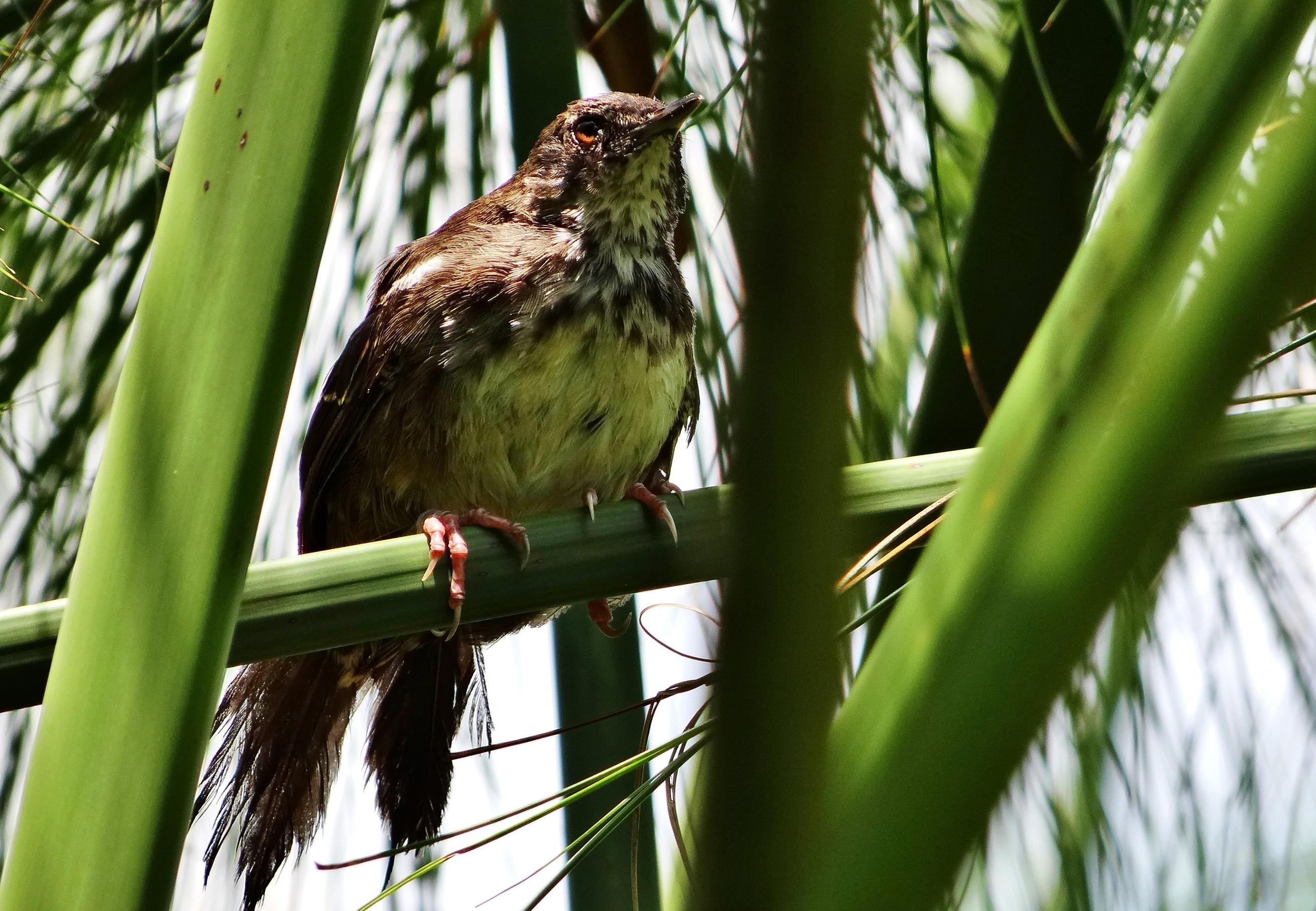 White-winged Swamp Warbler