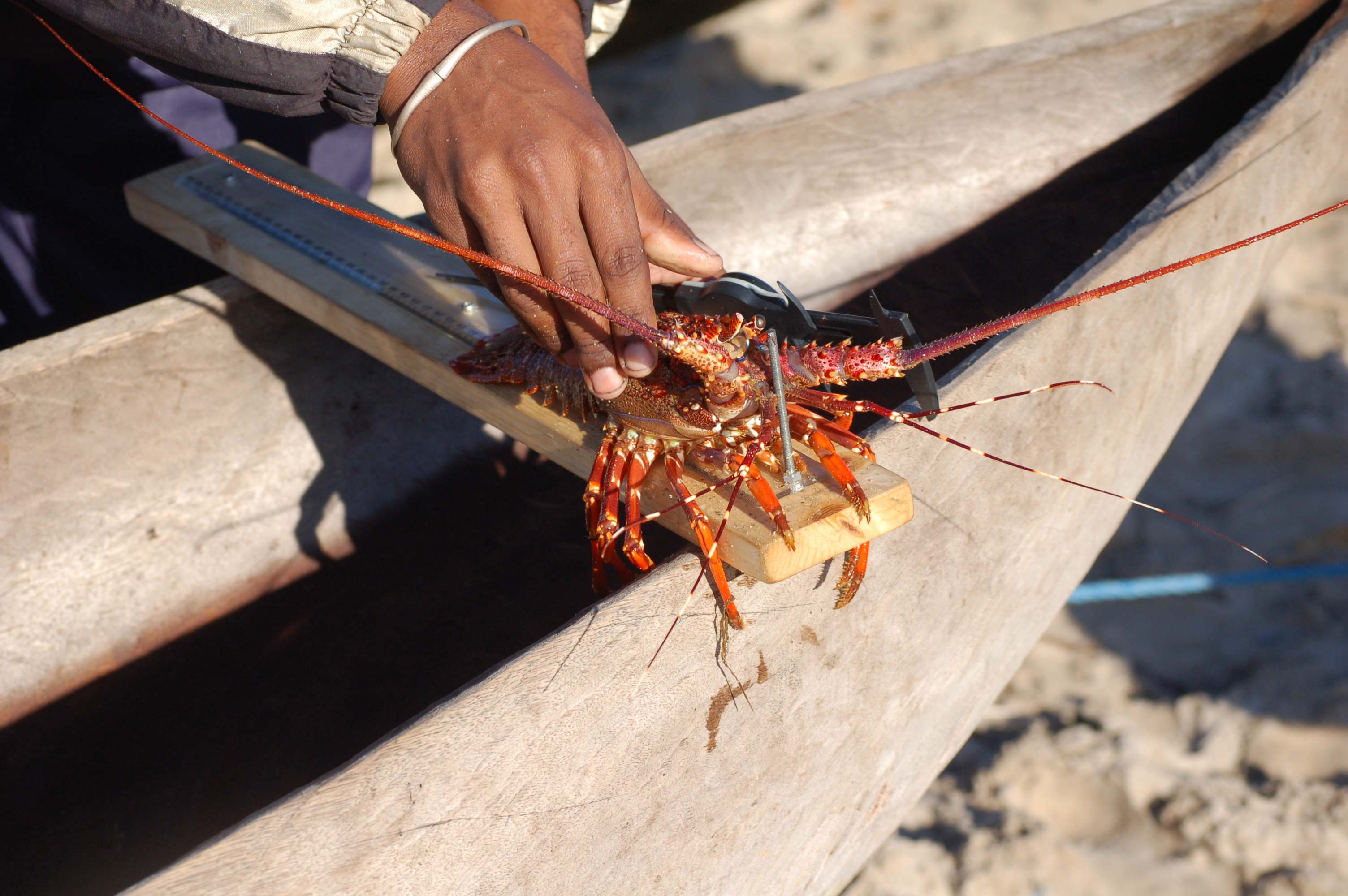The main catch - a spiny lobster (c) SEED Madagascar